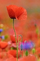 Common Poppy. Papaver rhoeas. Schleswig-Holstein, Germany