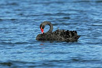 Black Swan ( Cygnus atratus)  preening on the East Pond of New York´s Jamaica Bay National Wildlife Refuge, part of the Gateway National Recreation Ar...