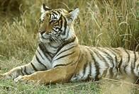 Bengal-Tiger/n(Panthera-tigris)/nRajasthan,-India