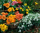 Spring-Flowers:-Snowdrops,-Daffodils,-Primula