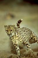 Cheetah-running-(Acinonyx-jubatus),-South-Africa