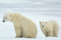 Polar-Bear-with-young-Manitoba,-Canada