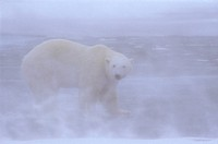 Polar-Bear-in-White-Out-Storm(Ursus-maritimus),-Cape-Churchill,-Manitoba,-Canada