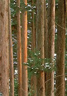 Cypress-Forest,-close-up,-Yudanaka,-Honshu,-Japan