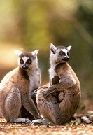 2-Ring-tailed-Lemurs-and-1-young-(Lemur-catta),-Kaleta-Reserve,-Madagascar
