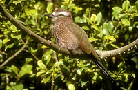 Rufous-Crowned-Roller/n(Coracias-naevia)/nSenegal-to-Ethiopia-to-S-Afr