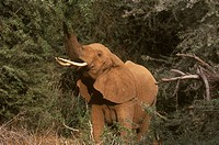 African-Elephant-feeding-on-Acacia-Tree-(Loxodonta-africana),-Samburu,-Kenya