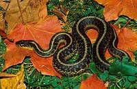 Eastern-Garter-Snake-(Thamnophis-s.-sirtalis)