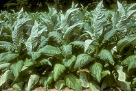 Tobacco-almost-ready-for-harvest---Atkins-Virginia-(Nicotiana-tabacum)