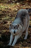 Tundra-Wolf-Wolf-Sanctuary-Eureka,-Missouri