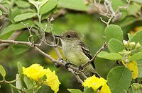 Large-billed-Flycatcher,-Myiarchus-magnirostris-,-Giant-Tortoise-Breeding-Center,-Isabela-Island,-Galapagos,-Ecuador