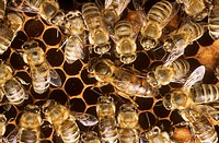 Honeybees:-Queen-and-Workers-in-Hive