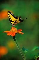 Eastern-Tiger-Swallowtail/n(Papilio-glaucus)-nectaring.-Philadelphia,-PA