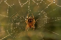 Common-Garden-Spider-on-Web-with-Dew-(Araneus-diadematus)-Philadelphia,-PA
