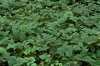 Kudzu-weed-grows-over-everything---Dixie-Caverns-VA-(Pueraria-thunbergiana)