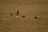 Greater-White-fronted-Geese-(Anser-albifrons)-flying-over-Tundra,-N.-Slope,-AK