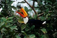 Toco-Toucan-(Ramphastos-toco)-eating-Goiaba-Fruit,-wild,-Pantanal,-Brazil
