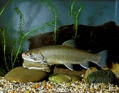 Brook Trout aka Brook Charr (Salvelinus fontinalis)