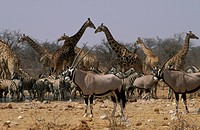 Waterhole with Gemsbok, Zebra and Giraffe, Etosha NP, Namibia