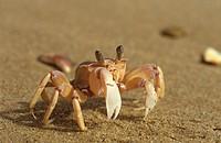 Pink Ghost Crab (Ocypode madagascariensis), Tongaland Beach, Natal, RSA