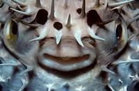 Porcupine Fish - defense/n(Diodon hystrix) /nCaribbean
