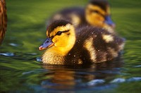 Mallard--Ducklings-(Anas-platyrhinchos),-Parsippany,-NJ,-3-days-old