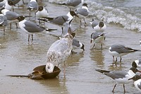 Young-Herring-Gull-(3rd-Winter)-eating-Horseshoe-Crab,-Cape-May,-NJ