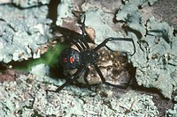 Black-Widow-guarding-her-young---newly-hatched/n((Latrodectus-mactans)-USA