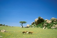 Serengeti-NP-Scenic-with-nomadic-male-African-Lions,-Tanzania