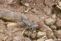 Whip-Scorpion,Vinegarones,/nMastigoproctus-giganteus,S.E.Arizona