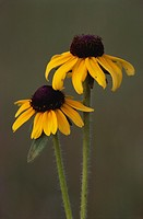 Black-eyed-Susan-(Rudbeckia-hirta)-Lapeer-Co.,-MI