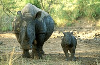 White-Rhinoceros-adult-and-calf-(Ceratotherium-simum)