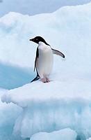 Adelie-Penguin-(Pygoscelis-adeliae),-Antarctica