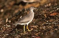 Wandering-Tattler-(Heteroscelus-incanus)-California