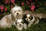 Dog:-Shih-Tzu-with-Puppies