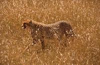 Cheetah-in-tall-Grass,-Mala-Mala-Reserve,-Mpumalanga,-RSA-(Acinonyx--jubatus)