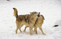 Gray-Wolves-greeting-(Canis-lupus)--Canada,-Palearctic,-India,-Alaska