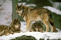 Gray-Wolf-(Canis-lupus)-Bayr.-Wald-NP-Bavaria,-Germany