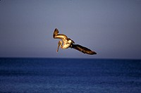 Brown-Pelican-diving/n(Pelcanus-occidentalis)/nMarco-Island,-Florida
