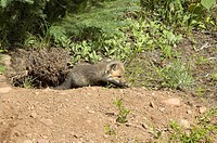 Red-Fox-(Vulpes-vulpes)-pup-@-den,-captive-Minn.Wildlife-Connection