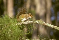 Gray-Squirrel,-Corkscrew-Swamp-Sanctuary,-FL-(Sciurus-carolinensis)