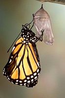 Monarch-Butterfly-Extending-Wings,-Just-Emerged-(Danaus-plexippus)-Scarborough,-Ont.
