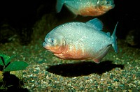Red Bellied Piranha (Serrasalmus nattereri)