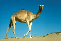 Camel/n(Camelus-dromaderius)/nUnited-Arab-Emirates