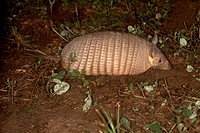 Hairy-Armadillo-(Chaetophractus-villosus)-northern-Paraguay