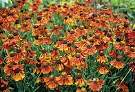 Sneezeweed flowers (Hellenium ´Moerheim Beauty´).