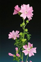 Musk mallow flowers (Malva moschata).