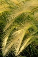 Foxtail-Barley-(Hordeum-jubatum)-Mono-Lake,-CA