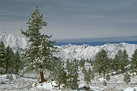 Jeffrey-Pine-Woodlands-with-new-Snow-and-Frost,-Long-Valley,-Inyo-N.F.,-California,-E.-Sierra