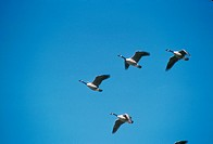 Canada-Geese-in-Formation